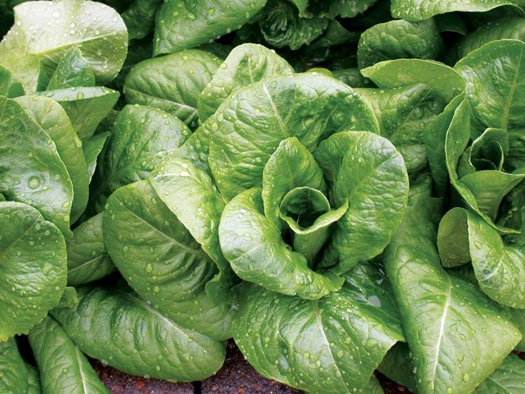 Grow Great Lettuce -- it's that time of year again!