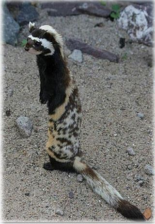Very endangered marbled polecat