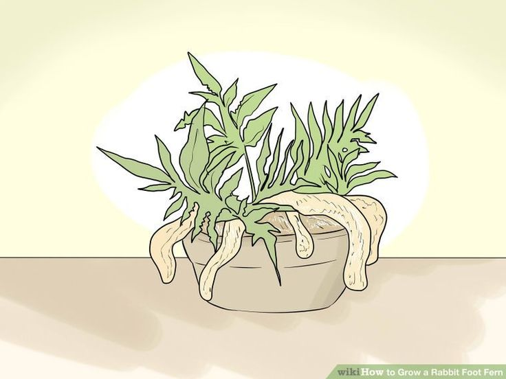 How to Grow a Rabbit Foot Fern: 10 Steps (with Pictures) - wikiHow