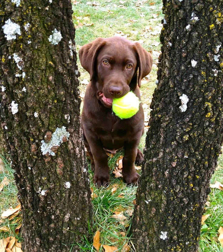 My chocolate lab puppy #Tucker