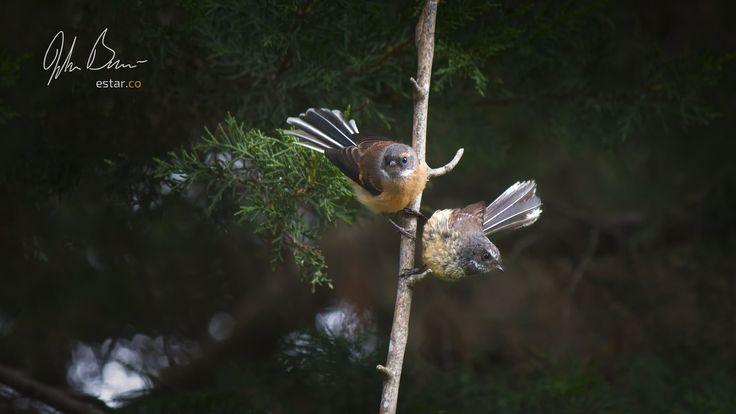 Fantails Hunting | by estartv