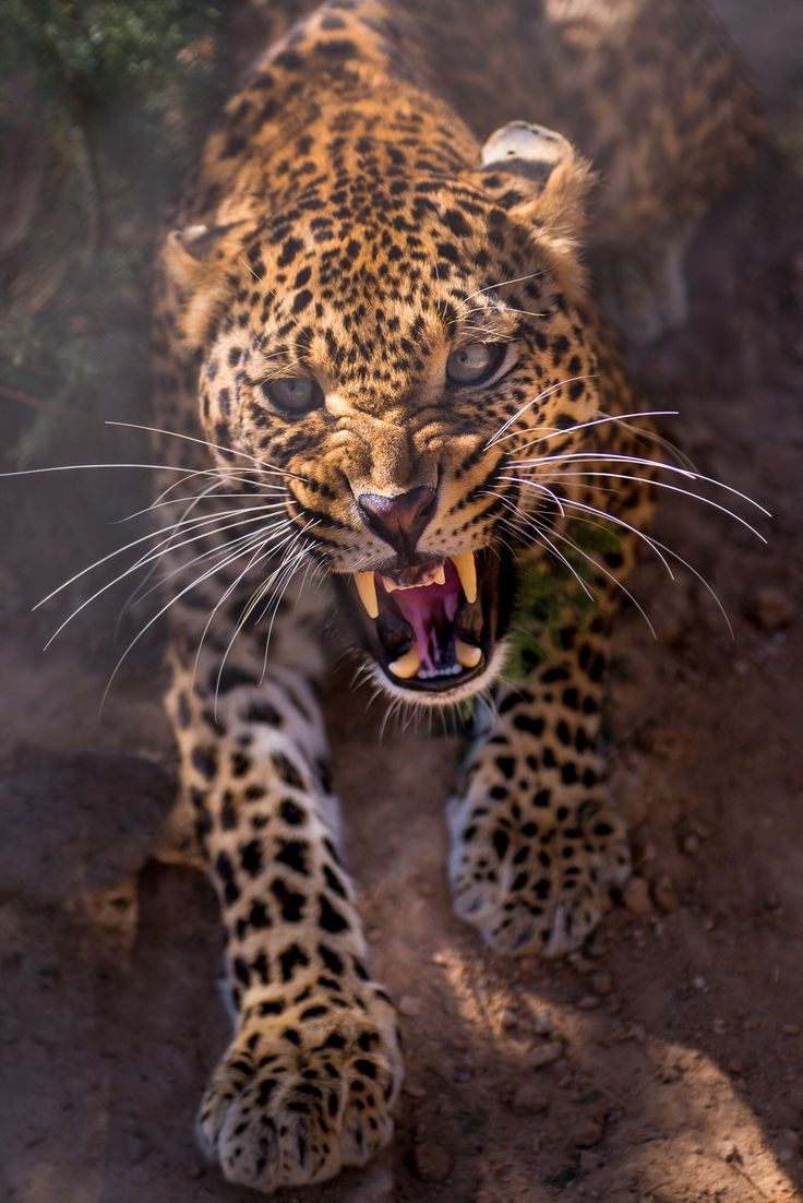 An angry leopard -