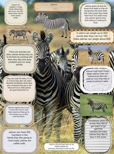 Zebras are several species of African equids united by their distinctive black and white striped coats. Their stripes come in different patterns, unique to each individual. #glogster #glogpedia #zebra