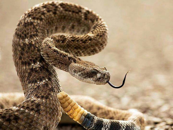 Imagini pentru rattlesnake rise head national geographic