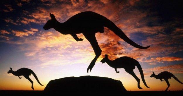 Canguri nell Uluru National Park