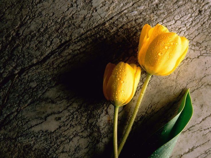 Tulip Flower Desktop Wallpapers