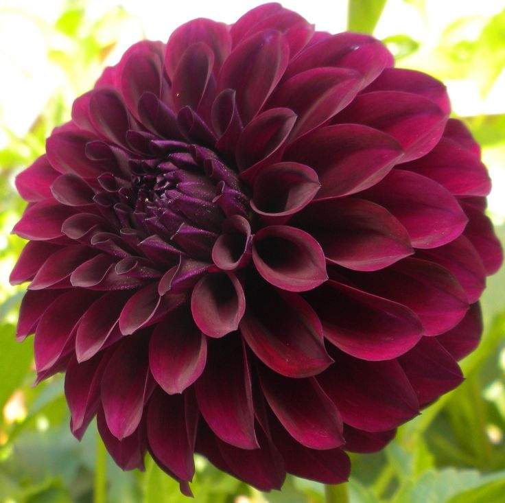 dahlia deep space deep plum in colour and full bodied