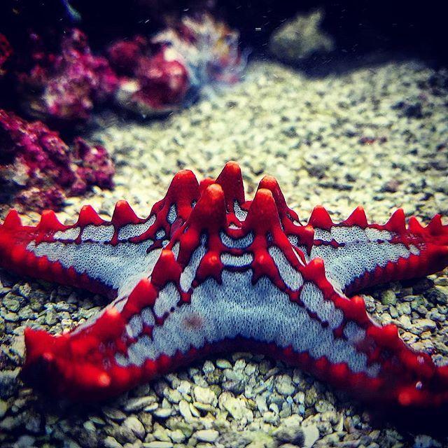 Red Chocolate Chip Starfish Underwaterphotography Upclose Pics Naturephotos Naturephotography Sea Starf Chocolate Chip Starfish Starfish Starfish Facts