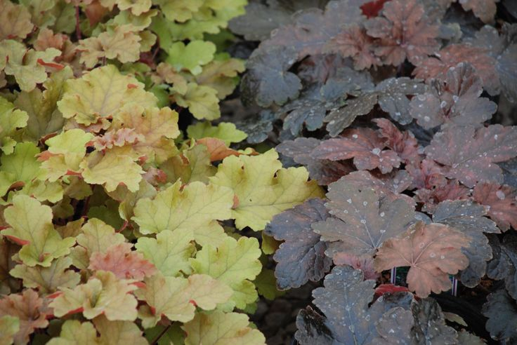 the encyclopedia of heuchera pinned by www. Black Bedroom Furniture Sets. Home Design Ideas