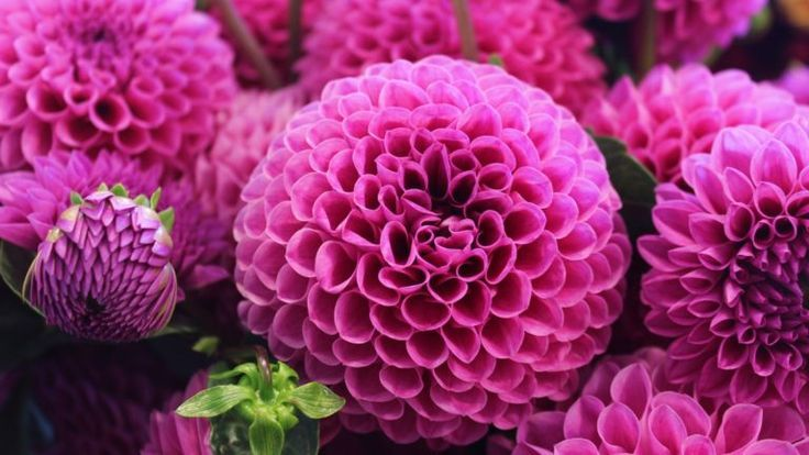 Wonderful Dahlia Flower Hd Wallpapers Pictures Download Free Flower Seeds Flowers Photography Flower Pictures
