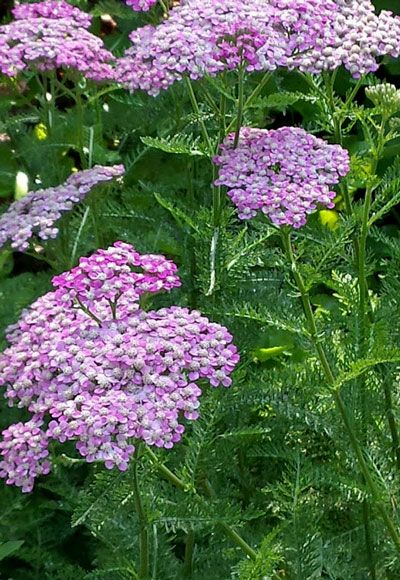 Yarrow, with its flat-topped clusters and lacy leaves is a favorite for butterflies. Plant in full sun with companions like Black-Eyed Susan, Candytuft and Salvia. Click through to the Garden Club to learn more about building a butterfly garden.