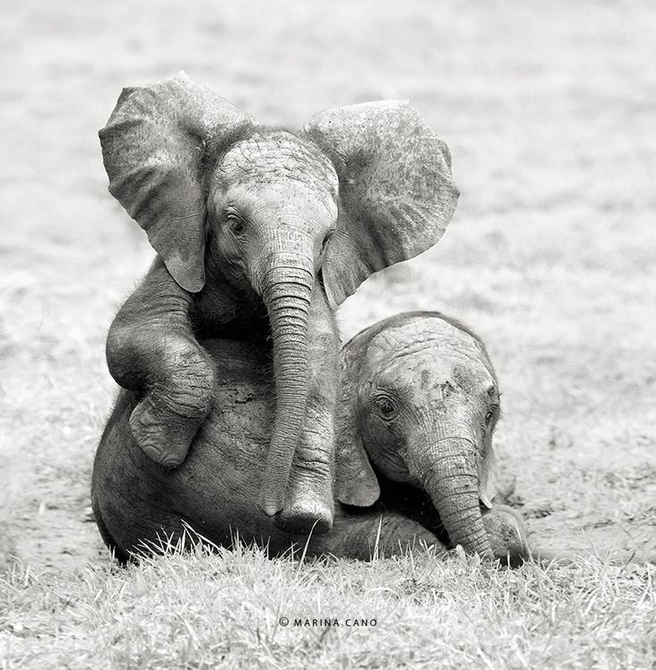 Marina Cano is an internationally renowned nature photographer who travels the globe to capture the most incredible photographs of wild animals I have ever seen. Baby elephants