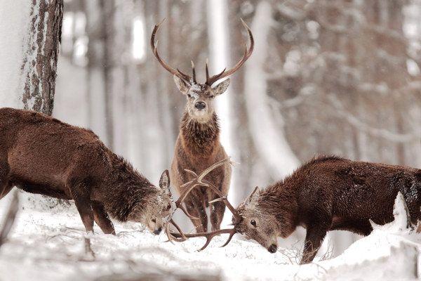 Duell mit Schiedsrichter - John Betts #hirsch #hirsche #reh #rehe #deer #forest #wald #schnee #snow #picture #prämiert #foto #awarded #photography #nature #natur #tiere #animals #wildlife