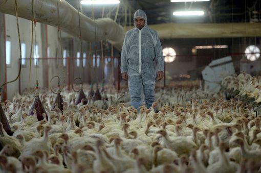 Une ferme d'élevage de dindes, en Turquie, en décembre 2016- Podcast France Culture Parole de Corine Pelluchon, une philosophe engagée sur la cause animale