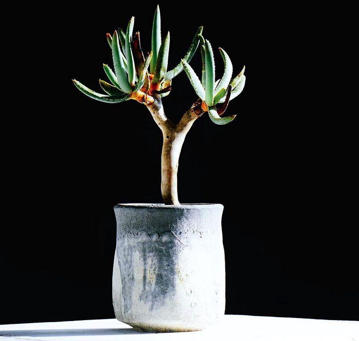 最近蘆薈科還滿火紅的啊!  #aloe #ramosissima #羅紋錦 #succulents #plants