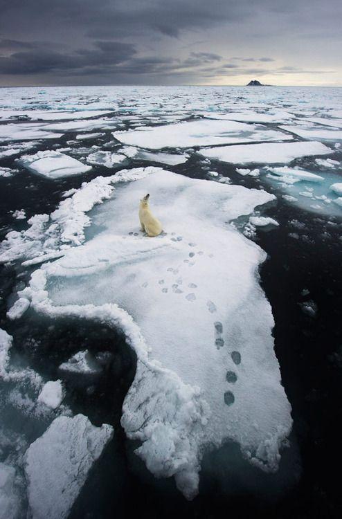Polar bear [photo by Ole Jorgen Liodden, Environment Wildlife Photographer]