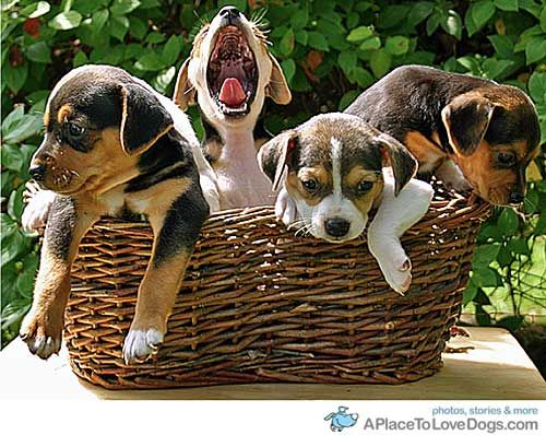 beagles Archives | Page 20 of 29 | A Place to Love Dogs