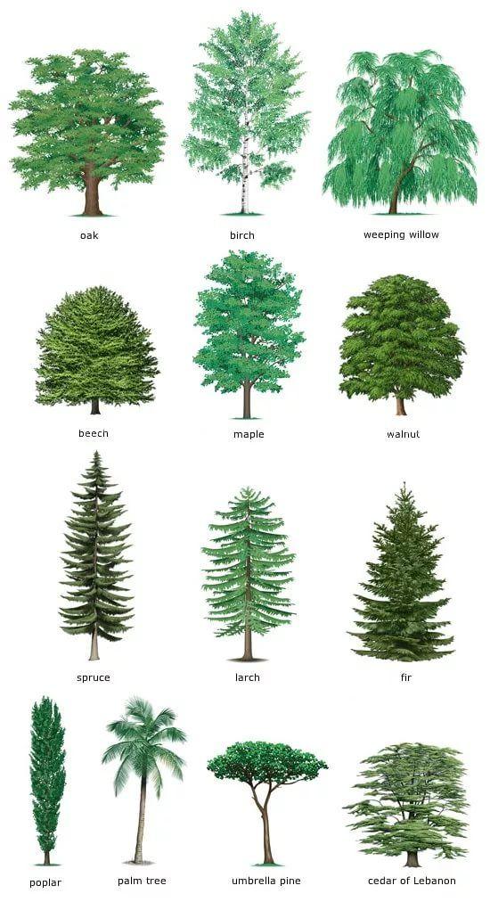 Годовщиной, картинки для детей деревья с названиями