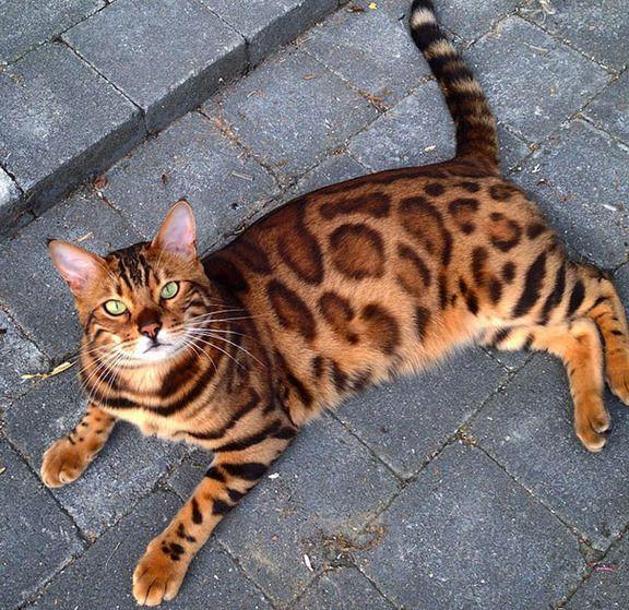 美しい柄の毛と緑の瞳が魅力的なベンガル猫トールさんの画像集
