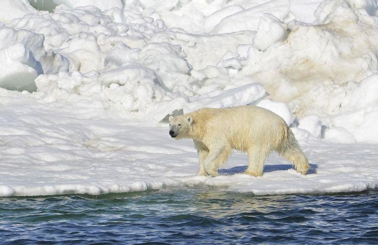 En los últimos años – décadas, incluso – las noticias no son nada buenas para los osos polares. Pero aún más preocupante es la situación cuando surgen juntos dos estudios, como los aparecidos en artículos recientes. Porque los osos polares se están quedando sin su hábitat favoritos – las placas de hielo