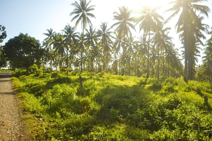 coconut farm