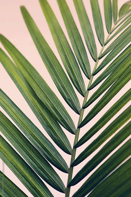 Close Up Of Vibrant Majesty Palm Tree Leaves Against A