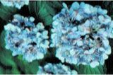 Symptoms of anthracnose on blossoms of bigleaf hydrangea..... diseases of hydrangea and mgt