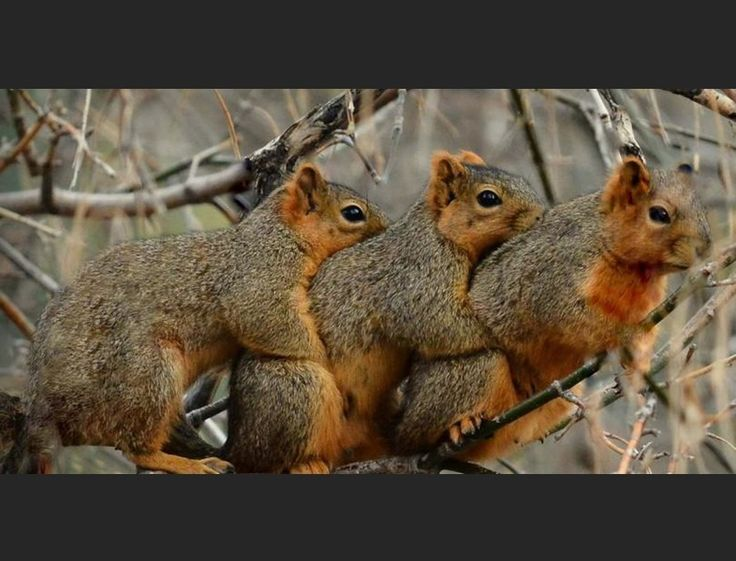 Check this threesome out! Threesome of squirrels, that is. Amateur photographer Ian Thomas from Anglesey in the UK took this adorable photo of three Americ