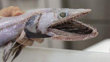 This Deep-Sea Lizard Fish Will Give You Nightmares