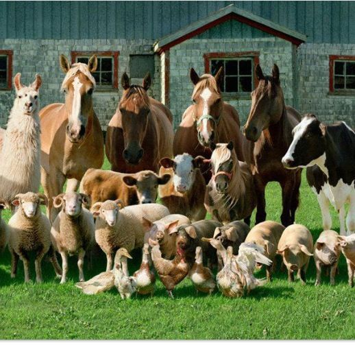 Great family Farm photo! Llama, Horses, Cows, Sheep, Pigs, Chickens, Ducks....all Posing Together.Board #14 Domestic Pets and Farm Animals #CoverPhoto
