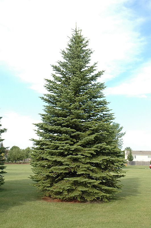 bachmans garden center. Colorado Spruce (Picea Pungens) At Bachman\u0027s Landscaping Bachmans Garden Center