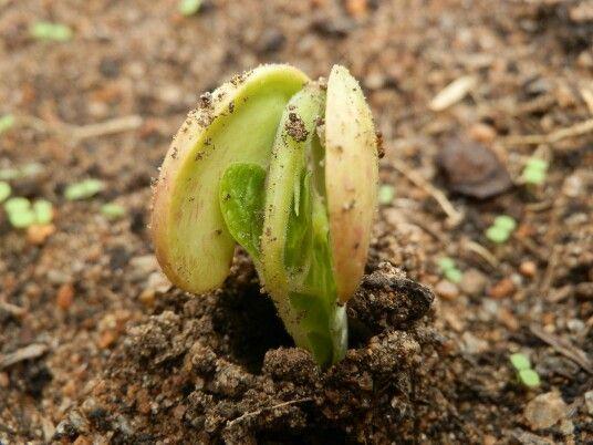 Peanut plant coming up.