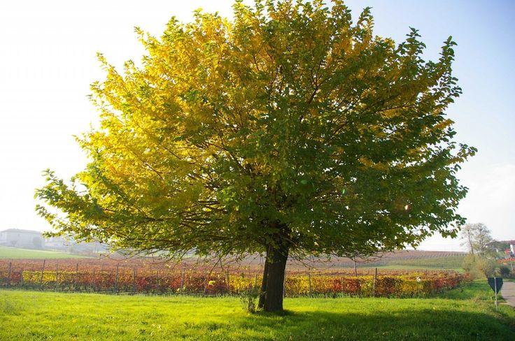 Gelso Bianco e Gelso Nero: caratteristiche e trattamenti biodinamici