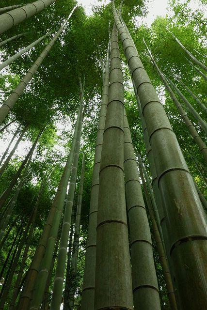 中尊寺の境内には立派な竹林が。平泉の見所!