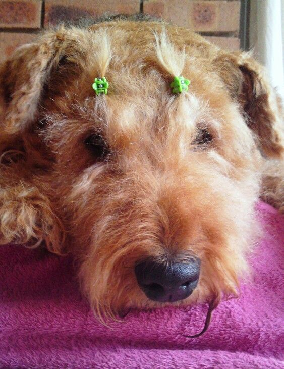 1000+ images about AIREDALES  BORDER COLLIES on Pinterest  Airedale terrier, Puppys and