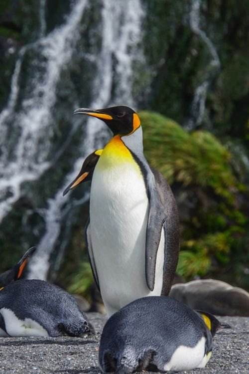 King Penguin with Waterfall (by Alex Cowan)