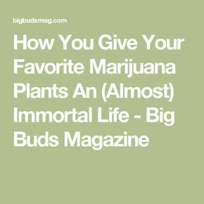 How You Give Your Favorite Marijuana Plants An (Almost) Immortal Life - Big Buds Magazine