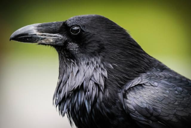 10 Fascinating Facts About Ravens | Mental Floss