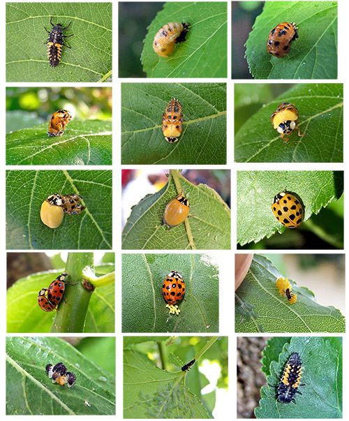 ladybug lifecycle representin' in my yard--there were lots of larvae earlier this spring and now there are bugs hatching!