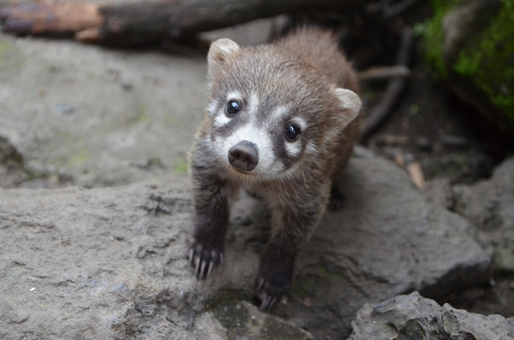 I WILL have one of these cute little fellas one day! #coatimundi