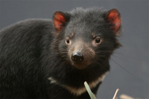 What a DevilCredit: David Hewett/IUCN. [STORY]The now endangered Tasmanian Devil (Sarcophilus harrisii) is the size of a small dog and found only on the Australian island state of Tasmania, the Devil is the largest carnivorous marsupial in the world. The global population of this species has declined by more than 60 percent over the last 10 years