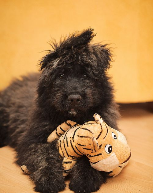 Adorable Bouvier de Flandres Pup