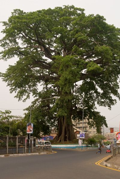 """The Cotton Tree is a Ceiba pentandra, a historic symbol of Freetown, the capital city of Sierra Leone. According to legend, the """"Cotton Tree"""" gained importance in 1792 when a group of former African American slaves, who had gained their freedom by fighting for the British during the American War of Independence, settled the site of modern Freetown."""