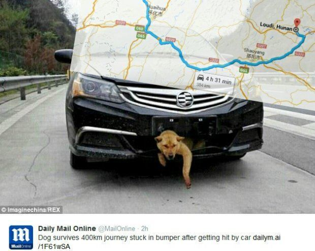 Przejechał 400 kilometrów z psem uwięzionym… w zderzaku!