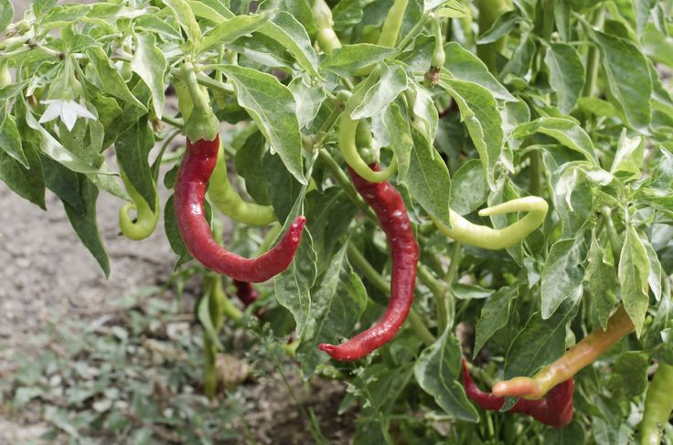 Growing Paprika – Where Does Paprika Grow And Other Paprika Spice Info