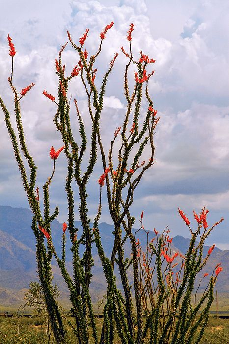 ocotillo blooming under cloudy