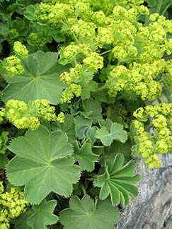 Alchemilla - tough as old boots, shade loving and able to withstand footballs apparently!