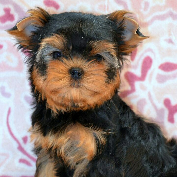 Teacup yorkies for sale in texas cheap