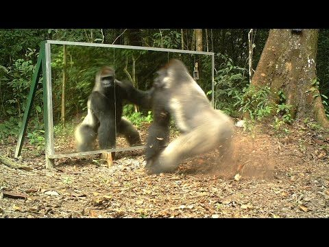Touched by a Wild Mountain Gorilla (short) - YouTube