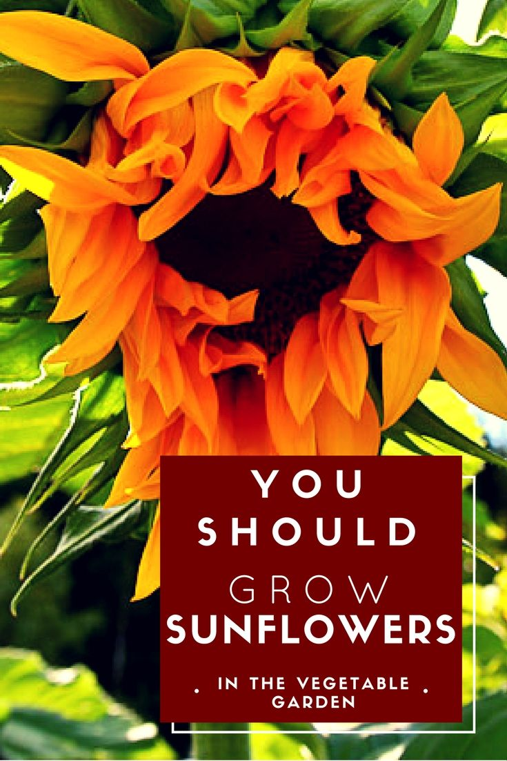 The Sunflower provides dramatic flair to a vegetable garden. They also serve an important and beneficial role in your garden. They: attract pollinators, provide shade, act as a living trellis and can even assist in the cleaning of contaminated soil. Read on to learn tips on incorporating them into your next vegetable garden.